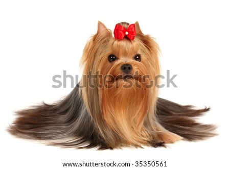 The Yorkshire Terrier of show class isolated on white background - stock photo