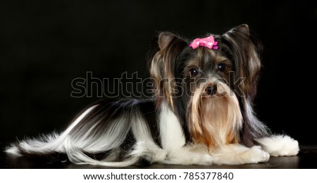 The Yorkshire Terrier on the black background