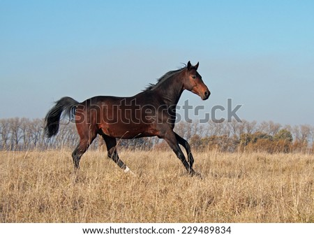 The young bay stallion of the Ukrainian sporting breed gallops on the field - stock photo