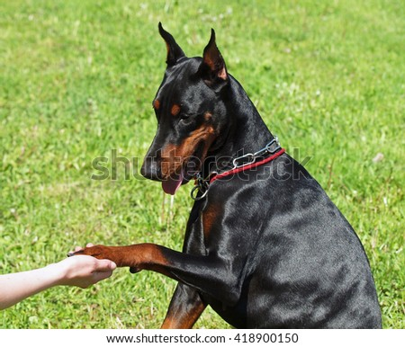 The young Dobermann  gives a paw to the person