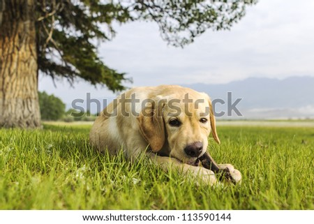 The young dog lies on grass under tree with stick in teeth