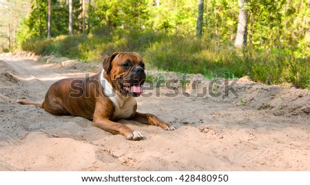 the young dog of breed the german boxer lies on the forest road in sand, a dirty muzzle with an open mouth, brown with black strips, long ears and a tail, white wool on a breast