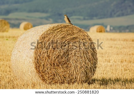 The Young Falcon On A Haystack - stock photo