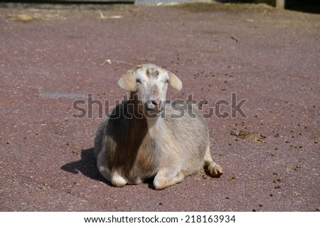 the young goat is laying on the pebbles - stock photo