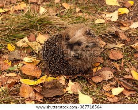 The young hedgehog was frightened and curled up in a ball - stock photo
