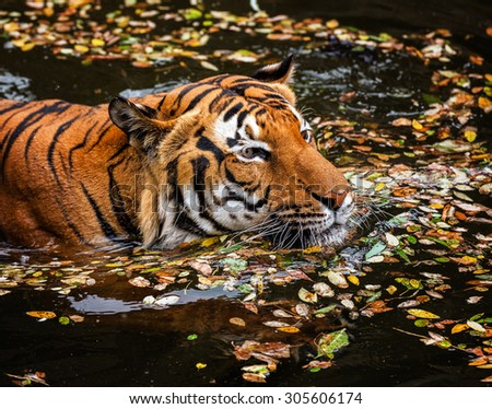 The young Sumatran tiger in the stream