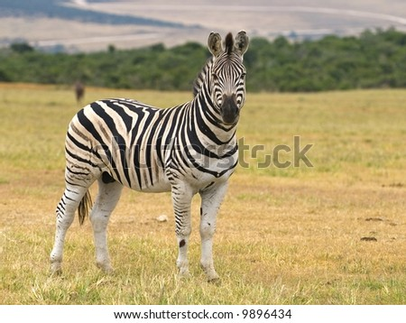 The Zebra is well known in Africa with its distinctive markings