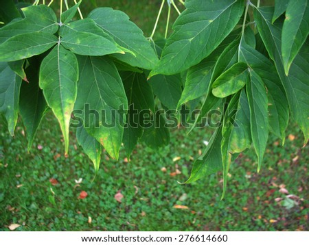 There  are green leaves and branches of a tree. Beginning of autumn - stock photo