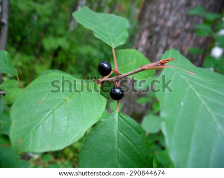 There  are green leaves, black berries of  bird cherry and branches of a tree - stock photo