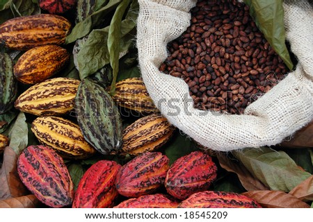 There are three main cultivar groups of cacao beans used to make cocoa and chocolate. Criollo, the cocoa bean used by the Maya. The Forastero and the last is a hybrid, called Trinitario. - stock photo