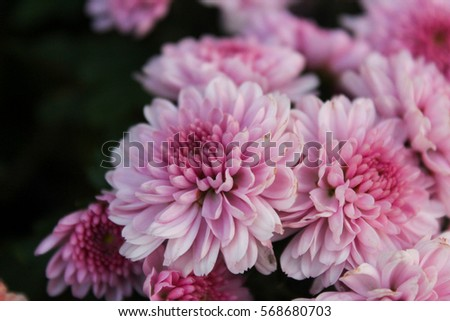 These pink white flowers called chrysanthemum stock photo edit now these are pink and white flowers called chrysanthemum or florists mun or mums flowers and mightylinksfo