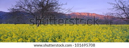 These are spring mustard plants in a walnut grove. They are below the Topa Topa Mountains in Upper Ojai at sunset. - stock photo