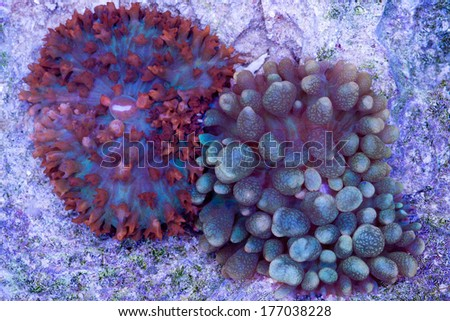 These are two  St Thomas mushrooms attached to a rock.  These look much like anemones. - stock photo