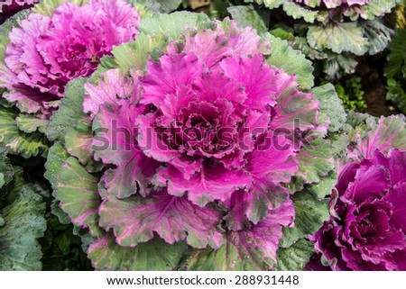 These are violet cabbages.You can make some food from these material. - stock photo