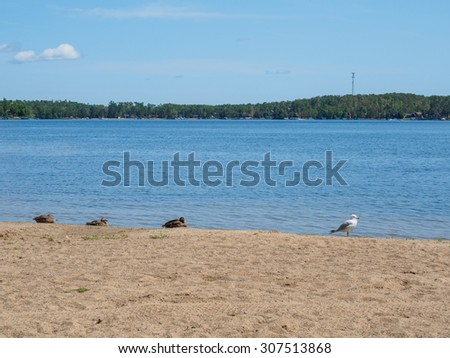 These is a picture of a seagull with Canadian Geese on the shore of East Gull Lake in Minnesota. - stock photo
