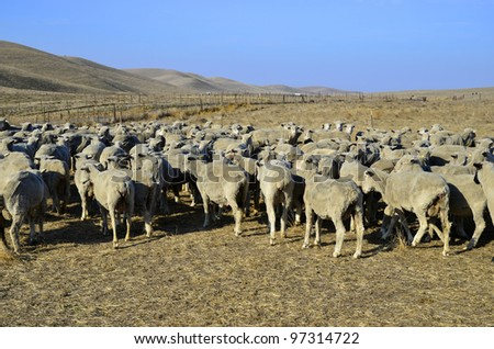 These sheep on a California ranch have just been shorn and await transportation to green alfalfa fields - stock photo