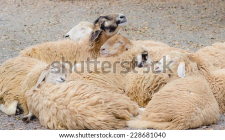 These sheep sleep sweet dream - stock photo
