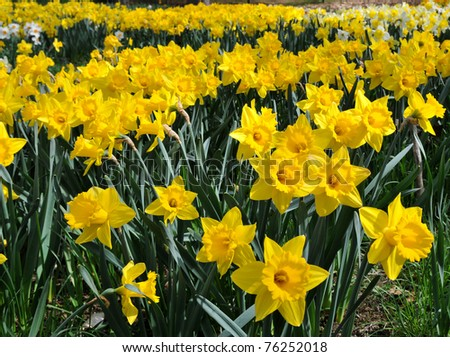 These sunny yellow daffodils are in full bloom in a roadside field in New England