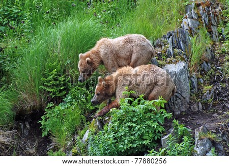 These two young bears are staying together to fend off a larger male on Kodiak Island.