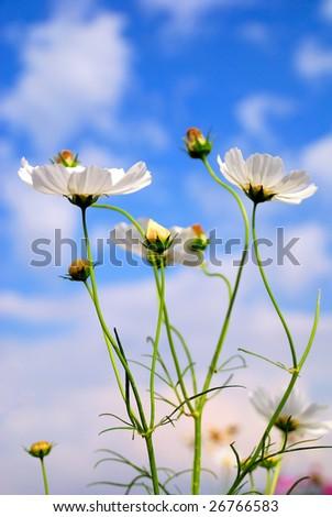 These white pretty coreopsis enjoys their day under the lovely sky. - stock photo