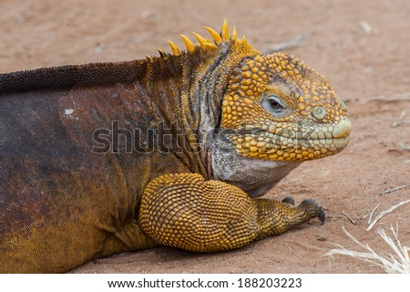 They are everywhere, those Iguanas on the Galapagos Islands