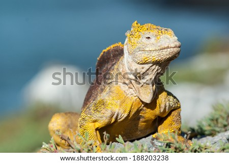 They are everywhere, those Iguanas on the Galapagos Islands - stock photo