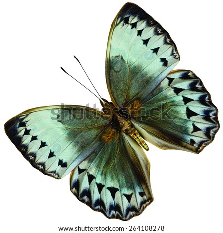 They Beautiful Flying Cambodia Junglequeen butterfly, the very rare of Thailand's specie, upper wing portion in natural color profile isolated on white background - stock photo