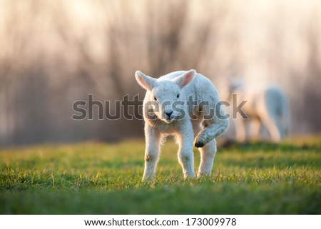 they playing in the field these lambs - stock photo
