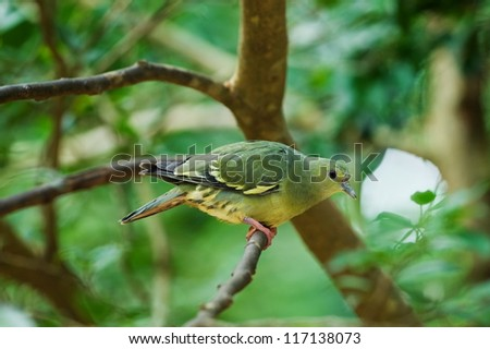 Thick-billed Pigeon (female)