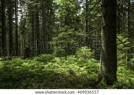 Thick fir forest landscape in summer day forest. Dense spruce forest