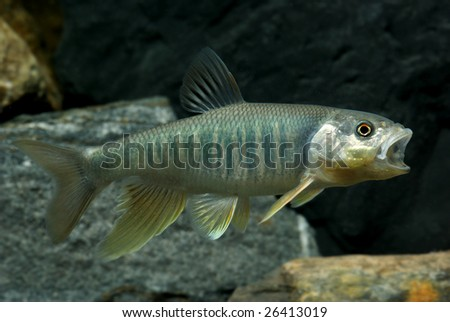 Thick-headed chub: Opsariichthys pachycephalus