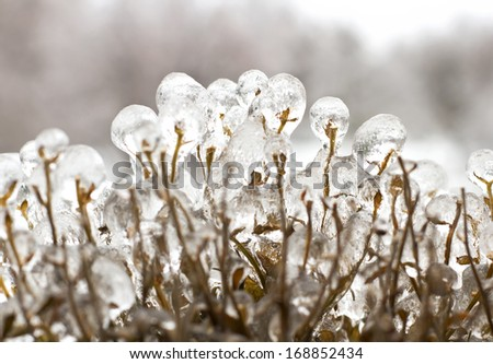 Thick ice on plant branches following freezing rain ice storm in Toronto, December 2013. - stock photo