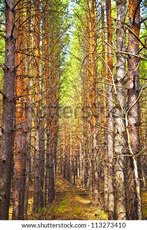 Thick pine autumn forest. Neat rows of trees. Shallow depth of field. - stock photo