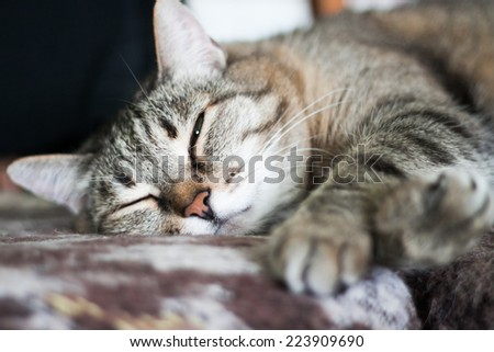 thick pleased gray striped cat is sleeping