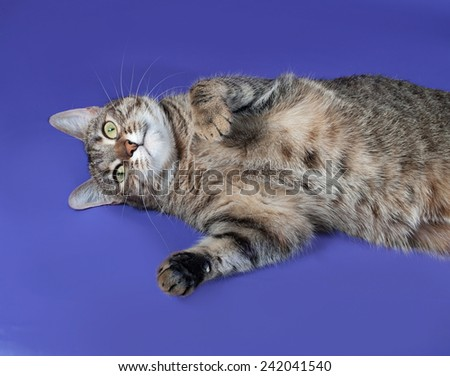 Thick striped cat lying on her back on blue background - stock photo
