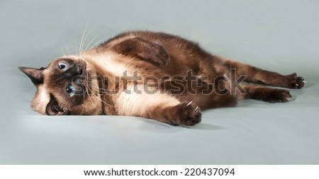 Thick Thai cat lies on gray background - stock photo