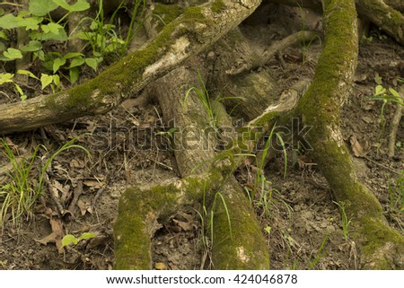 Thick tree roots with moss closeup