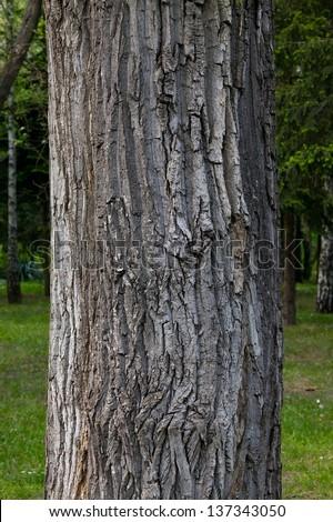 Thick tree trunk closeup - stock photo