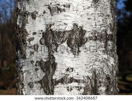 Thick tree trunk closeup, birch wood background