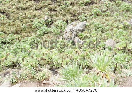 Thicket of giant lobelia in Simien mountains, Ethiopia - stock photo