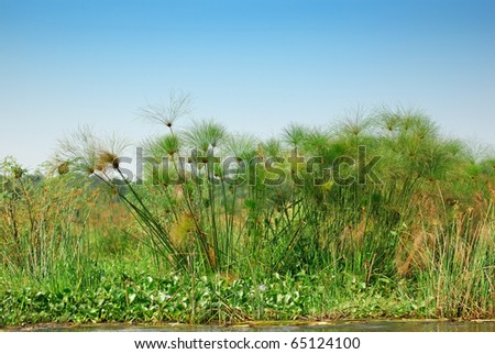 Thicket of the papyrus on the shore Victoria Nile - stock photo
