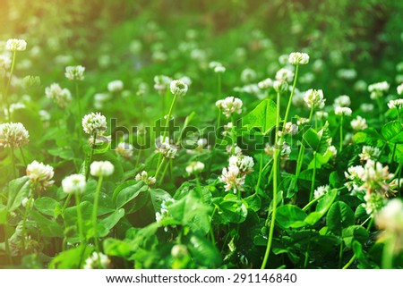 Thickets of blossoming clover - stock photo