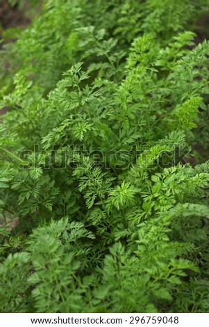 Thickets of foliage of carrots. A bed tops grown carrots. - stock photo