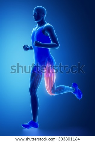 Thigh muscles - human muscle anatomy - stock photo