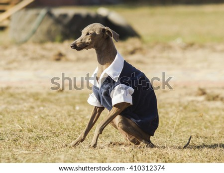 thin gray dog with long legs are sitting on the grass weared in the shirt - stock photo