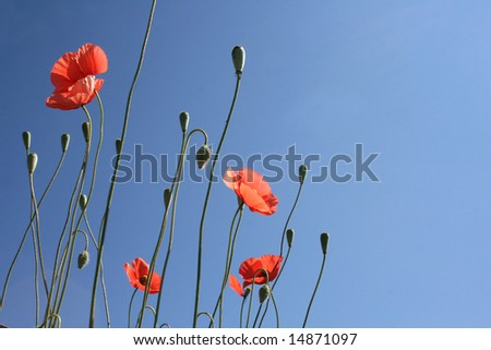 Thin lines of blossoming poppies