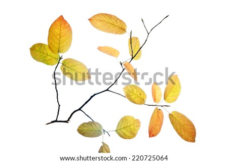 Thin twig with autumn leaves isolated on white  - stock photo
