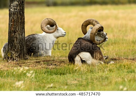 Thinhorn sheep (Ovis dalli) in Yukon Territory, Canada