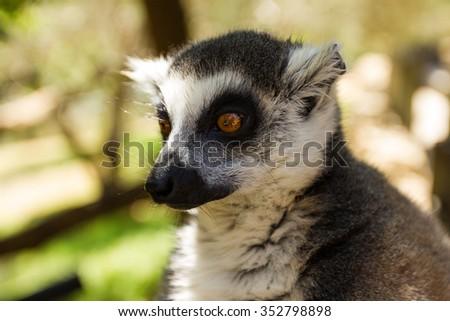 Thinking lemur (closely), Ring-tailed Lemur (Lemur catta) - stock photo