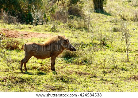 Thinking - Phacochoerus africanus - The common warthog is a wild member of the pig family found in grassland, savanna, and woodland in sub-Saharan Africa. - stock photo